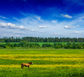 Spring summer green field scenery lanscape with horse background grass meadow under blue sky grazing Stock Images