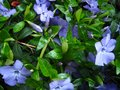 Spring sunny day. Blossom periwinkle  in the garden. Royalty Free Stock Photo