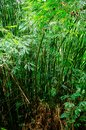 Spring Tall Trees Bamboo Woods. Chinese bamboo in Tropical Forest, Summer Nature. Nobody. Environment Concept Royalty Free Stock Photo