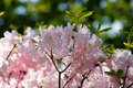 Spring tenderness springtime flowers beauty soft pink rhododendrons Stock Photography