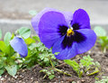 Spring time first tricolor viola flower Stock Image