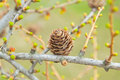 Spring time in larch forest Stock Photography