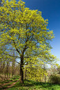 Spring tree against blue sky Royalty Free Stock Image