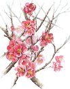 Spring tree blossom quince blooming watercolor painting illustration isolated on white background
