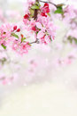 Spring Tree Blossoms Royalty Free Stock Photo