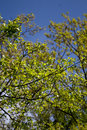 Spring tree with blue sky Royalty Free Stock Photo