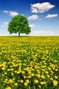 Spring tree on dandelion field Royalty Free Stock Photo