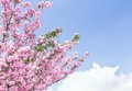 Spring tree with flowers under blue sky space for text Royalty Free Stock Photography