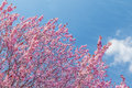 Spring tree with pink flowers almond blossom on blue sky background Royalty Free Stock Photo