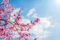 Spring tree with pink flowers almond blossom on a branch on green background, on blue sky with daily light Royalty Free Stock Photo