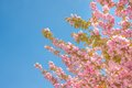Spring tree with pink flowers under blue sky space for text Stock Images