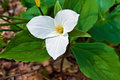 Spring Trillium Royalty Free Stock Images