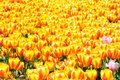 Spring tulip field Royalty Free Stock Photo