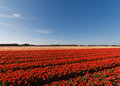 Spring tulip fields Stock Images