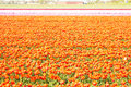 Spring tulip fields in Holland, Netherlands Royalty Free Stock Photo