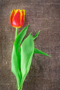 Spring tulip flower Stock Images