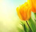 Spring tulip flowers growing