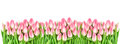 Spring tulip flowers isolated white background Floral banner Royalty Free Stock Photo