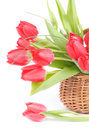 Spring tulips bouquet of magenta with green grass and droplets in wicker basket isolated on white background Stock Images
