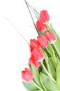 Spring tulips bunch of magenta with green grass and water drops closeup on white background Royalty Free Stock Image