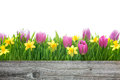 Spring tulips and daffodils flowers with copy space for your message Royalty Free Stock Photography