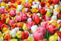 Spring tulips a dense patch of multicolored Royalty Free Stock Photos