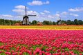Spring tulips and Dutch windmills Royalty Free Stock Photo