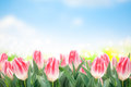 Spring tulips flowers in green grass on blue sky background Stock Image