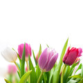 Spring tulips flowers on the white background Royalty Free Stock Photography