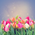 Spring tulips in garden on violet toned background Royalty Free Stock Photo