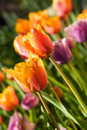 Spring tulips, Gavota sp Stock Images