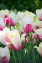 Spring tulips glade pink and white Stock Images