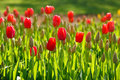 Spring tulips growing Royalty Free Stock Photo
