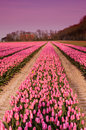 Spring tulips in Holland at dusk Royalty Free Stock Image