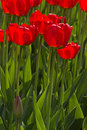 Spring tulips impregnated by the sun Stock Images