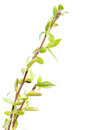 Spring twigs young green delicate fresh twig with leaves isolated on white background renew update concept Stock Images