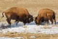 Spring is unfolding in yellowstone national park these two male bison are testing their strength Royalty Free Stock Images