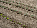 Spring vegetable garden planting tomatoes fine tilth salad crops just planted out Stock Photos