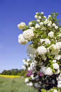 Spring viburnum blossoms and farm field Royalty Free Stock Images