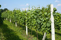 Spring vineyard Royalty Free Stock Photos