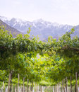 Spring Vineyard, Atacama Desert in the Coquimbo region, Chile Royalty Free Stock Photo