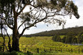 Spring vineyard landscape on the vines in south australia Royalty Free Stock Photos