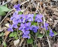 Spring viola flowers flowering blue in the forest Stock Image