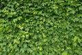 Spring wall overgrown with fresh green ivy leaves. Natural fence Royalty Free Stock Photo