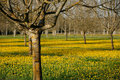 Spring walnut trees Royalty Free Stock Photography