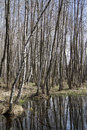 Spring waterlogged deciduous forest in spring. Stock Photos