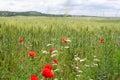 Spring wheat field, Crimea Royalty Free Stock Photo