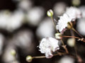 Spring white blossom flowers with shallow depth of field Stock Photography