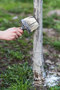Spring whitewashing of trees. Protection from sun and pests. Ukraine