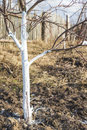 Spring whitewashing of young apple trees